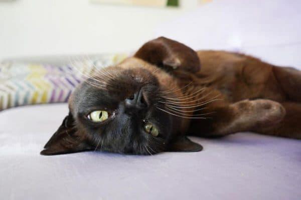 Бурманская кошка читайте статью