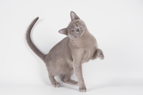 Бурманская кошка голубого цвета