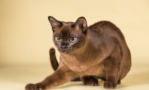 Бурманская кошка крадется