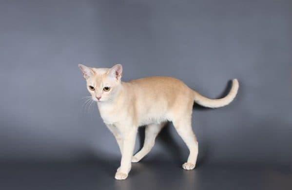 Бурманская кошка кремового цвета