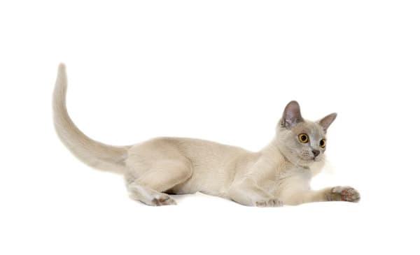 Бурманская кошка лилового цвета