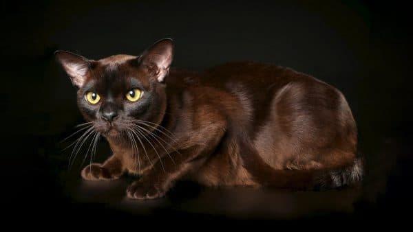 Бурманская кошка описание