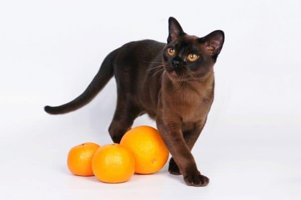 Бурманская кошка с апельсинами