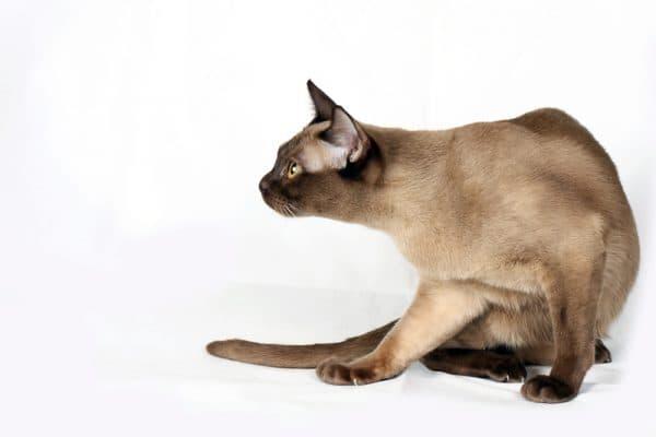 Бурманская кошка шоколадного (его еще называют «шампань») цвета