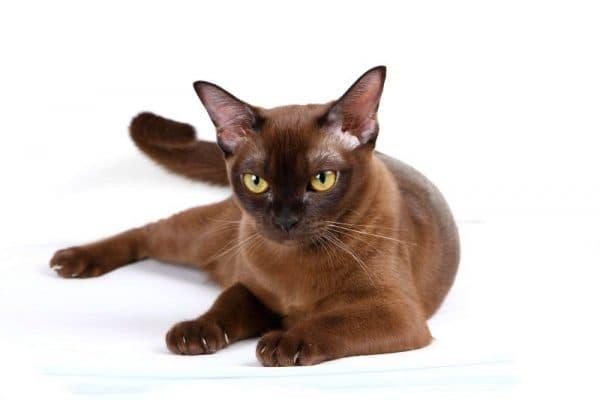 Бурманская кошка соболиного (черного) цвета