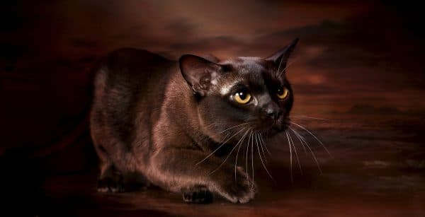 Бурманская кошка. Описание породы, фото кошки, видео, характер и цены.