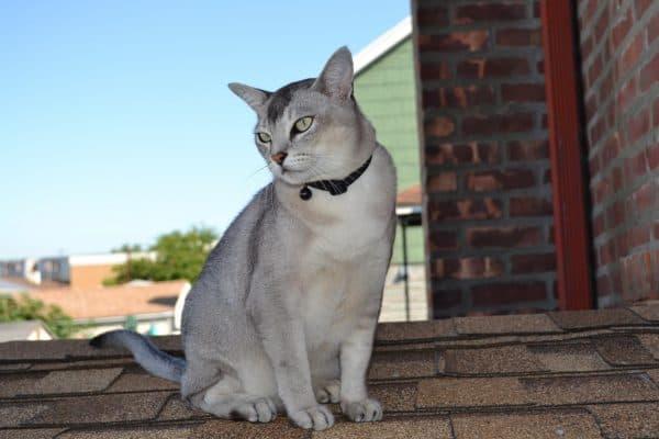 Бурмилла. Описание породы, фото кошки, видео, характер и цены.