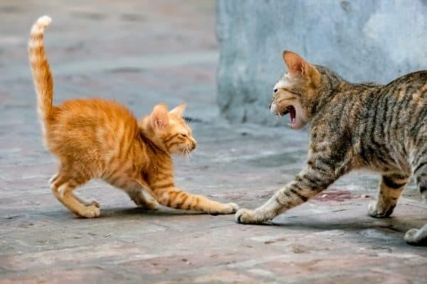 Читайте статью почему кошки дерутся