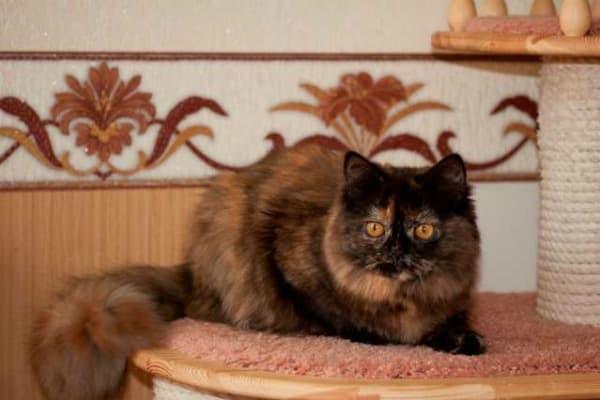 Длинношерстная британская кошка черепаховый окрас