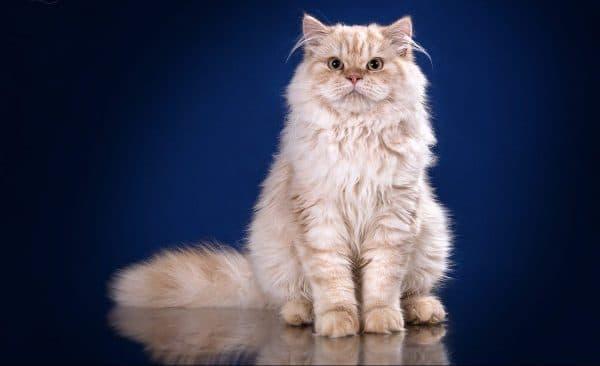 Длинношерстная британская кошка красивое фото