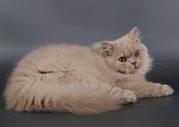 Длинношерстная британская кошка. Описание породы, фото, видео, характер и цены.