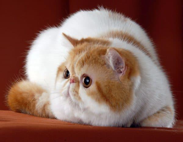Экзотическая короткошерстная кошка читайте статью