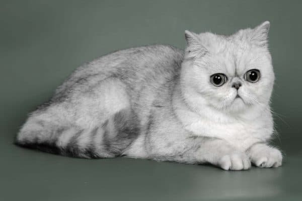 Экзотическая короткошерстная кошка милая
