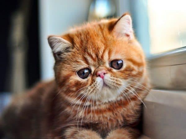 Экзотическая короткошерстная кошка удивительная