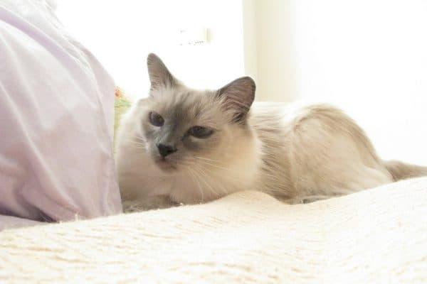 Фото кошек балинезийской породы