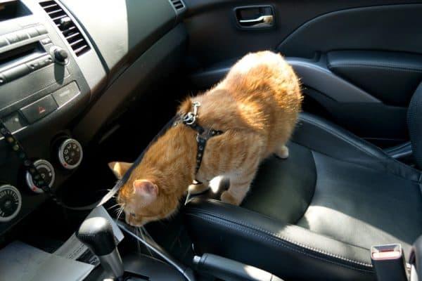 Как перевезти кошку в автомобиле