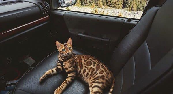 Как перевезти кошку в автомобиле. Полезные советы
