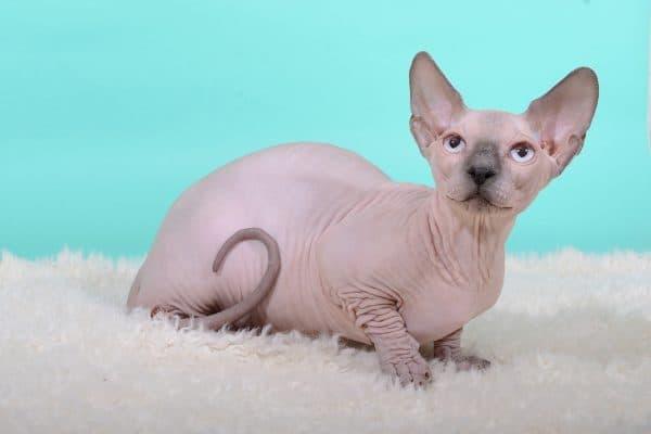 Канадский сфинкс. Описание породы, фото кошки, видео, характер и цены.