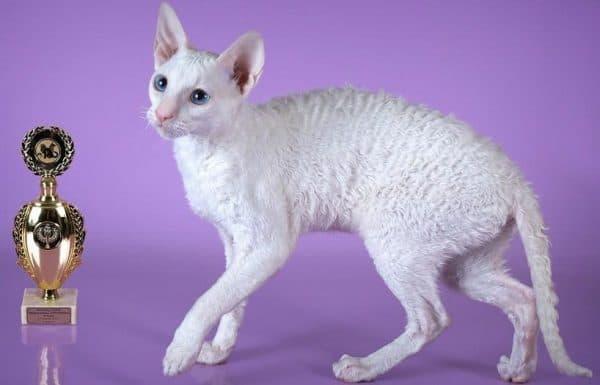 Корниш-рекс белого цвета