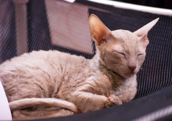 Корниш-рекс котик милый