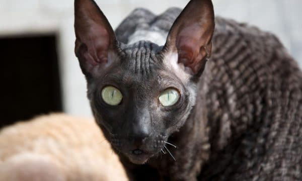 Корниш-рекс красивая порода кошек