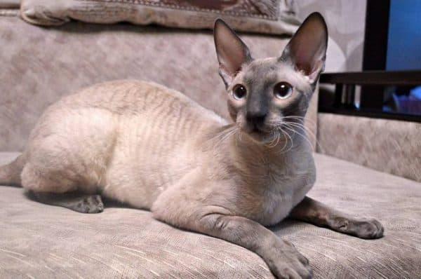 Корниш-рекс порода кошек