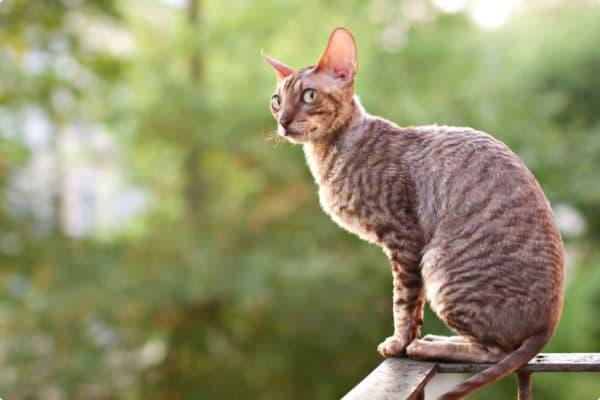 Корниш-рекс удивительный котик