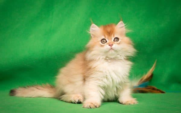 Котенок мальчик британский длинношерстный