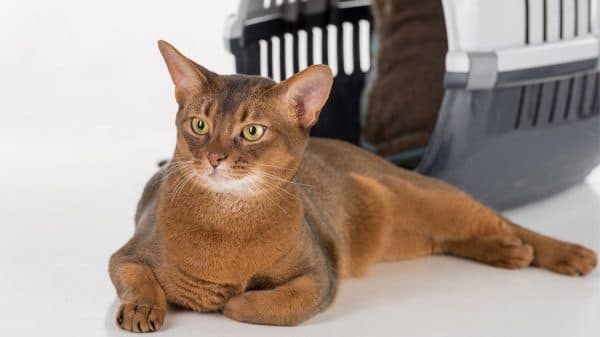 Красивая абиссинская кошка
