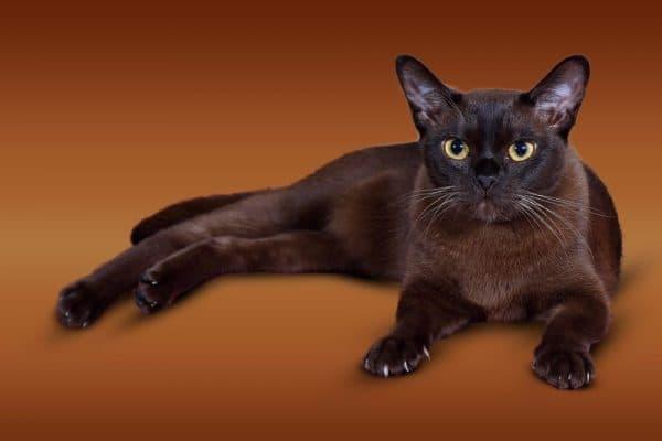 Красивая бурманская кошка
