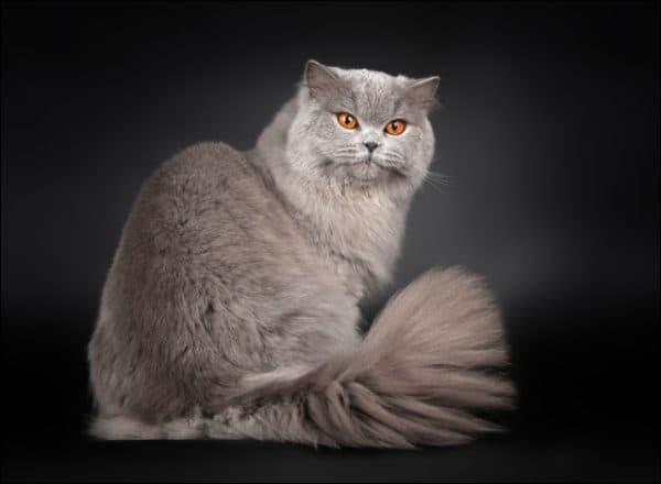 Красивая длинношерстная британская кошка