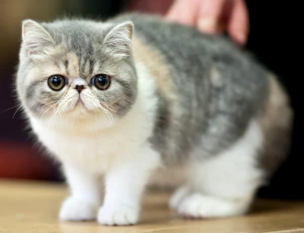 Красивая экзотическая короткошерстная кошка