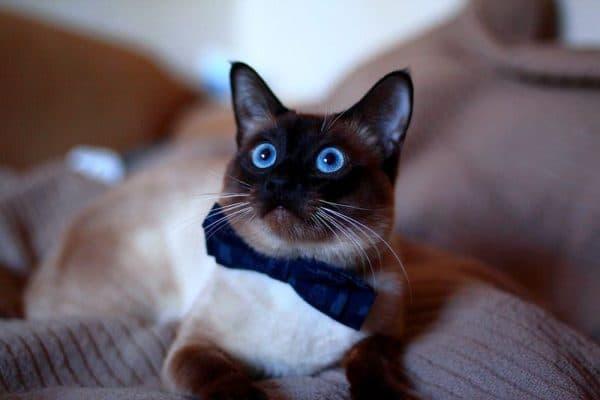 Красивая тайская кошка