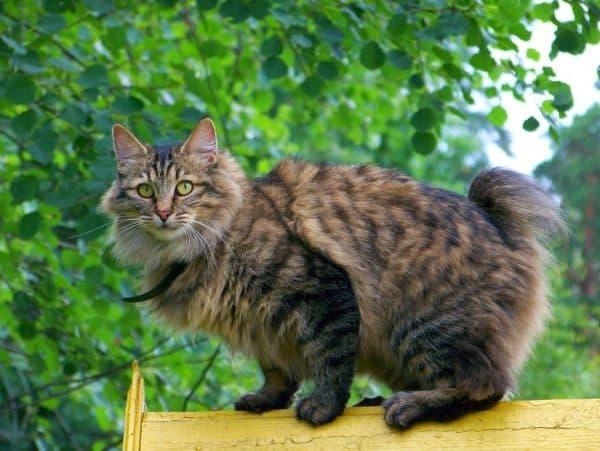 Курильский бобтейл красивая порода кошек