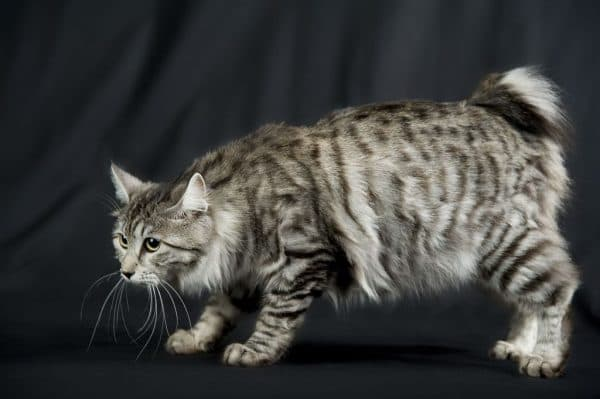 Курильский бобтейл. Описание породы, фото кошки, видео, характер и цены.
