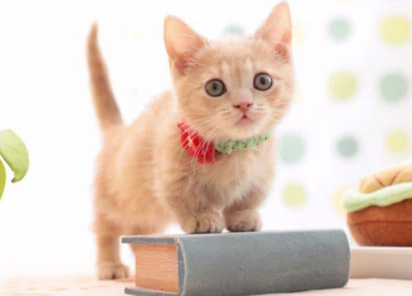 Манчкин котик