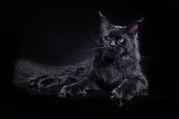 Мейн-кун черный солид