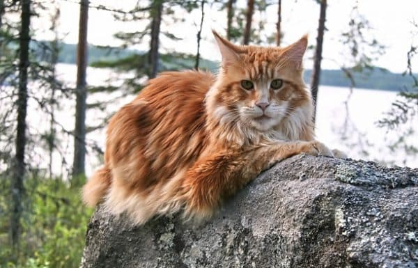 Мейн-куны - самые красивые коты
