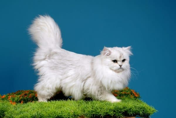 Милая длинношерстная британская кошка