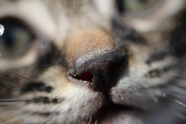 Нос у кошки. Какой должен быть здоровый. Читайте статью