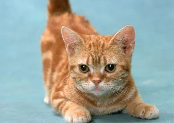 Породы кошек манчкин