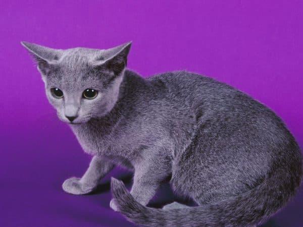Русская голубая кошка смотрит
