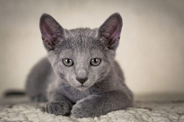 Русская голубая кошка. Описание породы, фото, видео, характер и цены.