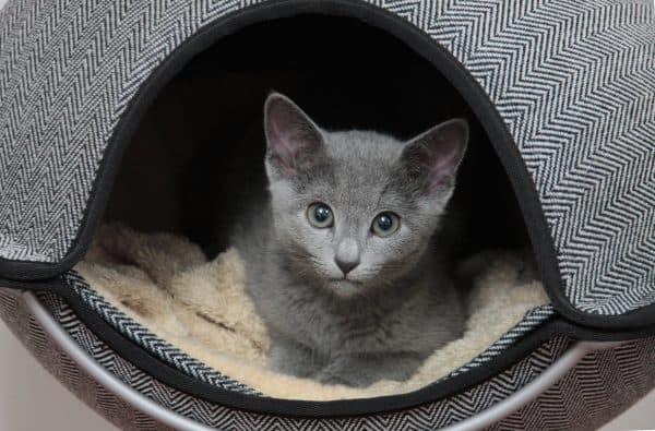 Русский голубой котёнок