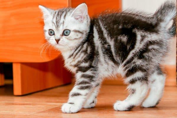 Скоттиш-страйт котенок