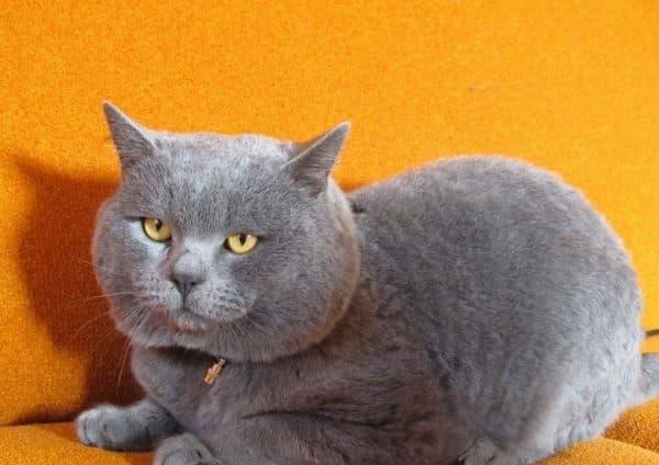 Скоттиш-страйт красивая порода кошек