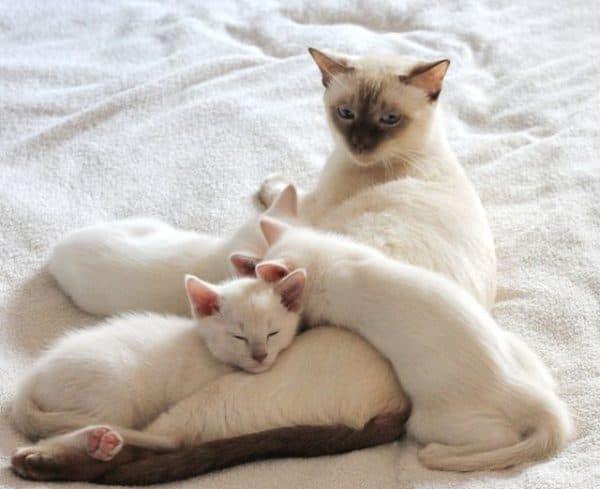 Тайская кошка фавн