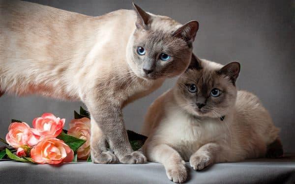 Тайская кошка красивая