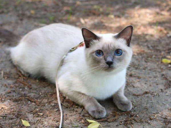 Тайская кошка красивое фото