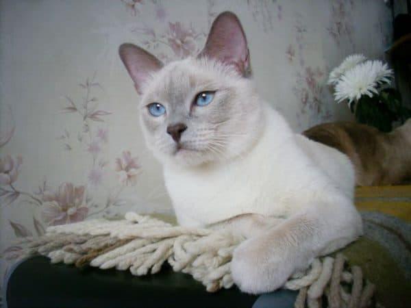 Тайская кошка лилак-поинт
